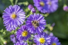 Aster violeta del otoño con la abeja Foto de archivo