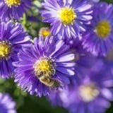 Aster violeta del otoño con la abeja Fotografía de archivo libre de regalías