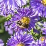 Aster violeta del otoño con la abeja Imágenes de archivo libres de regalías