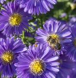 Aster violeta del otoño con la abeja Imagen de archivo libre de regalías