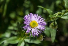 Aster w ogródzie zdjęcie royalty free