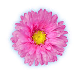 Aster on white Stock Images
