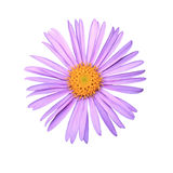 Aster on a white background Stock Photo