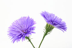 Aster in a white background Stock Photos