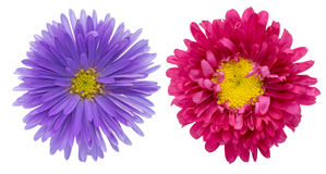 Aster in a white background Stock Photography