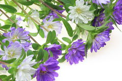 Aster in a white background Royalty Free Stock Image