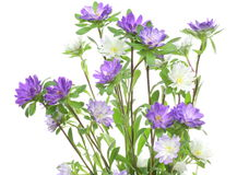 Aster in a white background Stock Photo