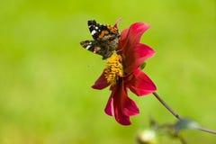 Aster y mariposa rojo oscuro Foto de archivo libre de regalías