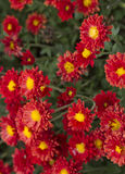 Asteraceae ή κόκκινο λουλούδι Compositae Στοκ φωτογραφίες με δικαίωμα ελεύθερης χρήσης