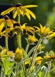 Asteraceae royaltyfri fotografi