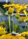 Asteraceae royaltyfria foton