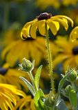 Asteraceae royaltyfria bilder