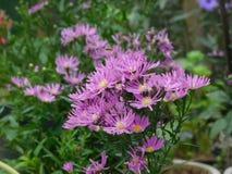 Asteraceae royaltyfri bild