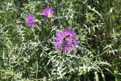 Asteraceae Imagen de archivo libre de regalías
