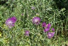 Asteraceae Imagen de archivo