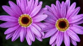Asteraceae arkivfoto
