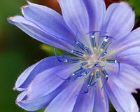 Asteraceae, Beautiful, Bloom royalty free stock photography