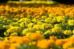 Asteraceae in a botanical garden Royalty Free Stock Photos