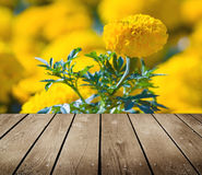 Asteraceae in a botanical garden and empty wooden deck table. Stock Photos