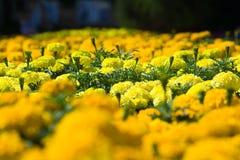 Asteraceae in a botanical garden Stock Photography