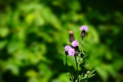 Asteraceae Cirsium arvense or Canada thistle - closeup of young plant royalty free stock photo