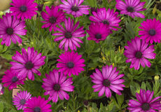 Asteraceae or Compositae pink flower Stock Image