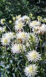 Asteraceae dahlia cultorum grade shooting stars white with yellow core large flowers. Asters in bloom and buds against the background of green foliage and trees royalty free stock images