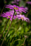 Asteraceae daisy flower Royalty Free Stock Images