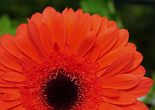 Asteraceae flower blooming Royalty Free Stock Photography