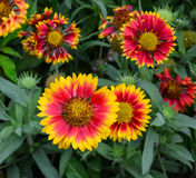 Asteraceae flowers at the sunny day Stock Image