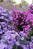 Asteraceae heliantheae pink and violet in autumn end of summer Stock Photo