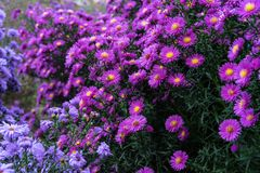 Asteraceae heliantheae pink and violet in autumn end of summer Royalty Free Stock Photos