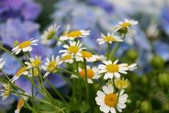 Asteraceae with hydrangea Stock Photos