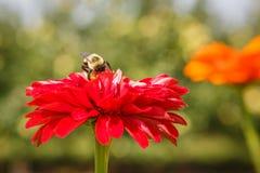 Asteraceae rojo del Zinnia Imagenes de archivo