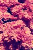 Asteraceae in un giardino botanico fotografia stock libera da diritti