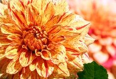 Asteraceaeverscheidenheid van de dahlia elijah metselaar van chrysant, stock fotografie