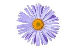 Asteralpinusen som isoleras på vit bakgrund, purpurfärgad violet för asteralpinus, blommar i blom arkivfoto