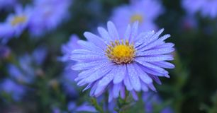 Asterbloemen in volledige bloei bij het park Royalty-vrije Stock Fotografie