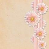Asterblumen auf rosa Hintergrund Stockbilder