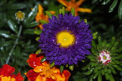 Asterblumenknospe Stockfotos