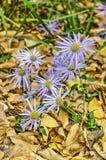 asteren blommar purple arkivfoton