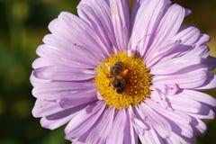 Asteres florecientes, abeja Imágenes de archivo libres de regalías