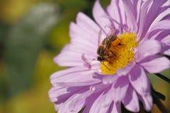 Asteres florecientes, abeja Fotografía de archivo