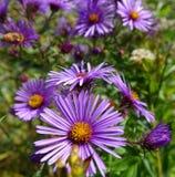 Asteres púrpuras - Boise, Idaho Foto de archivo