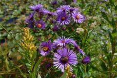 Asteres púrpuras en Boise Park, Idaho Fotos de archivo