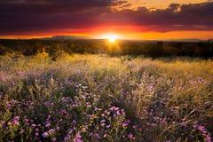 Asteres púrpuras en la puesta del sol Fotografía de archivo