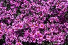 Asteres púrpuras Floración de los asteres en la caída fotografía de archivo