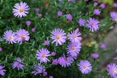 Asteres perennes - pequeñas flores de la lila Fotografía de archivo