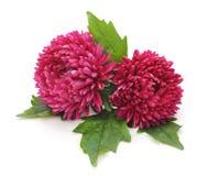 Asteres rosados hermosos Foto de archivo libre de regalías