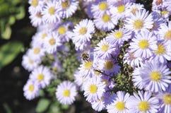 Asteres violetas Fotografía de archivo libre de regalías